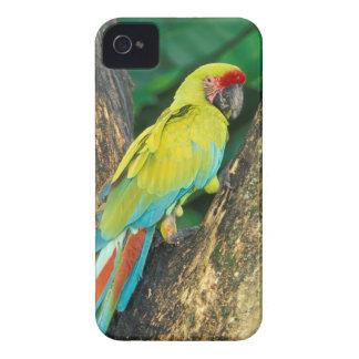 Costa Rica, Ara Ambigua, gran Macaw. verde Case-Mate iPhone 4 Cobertura