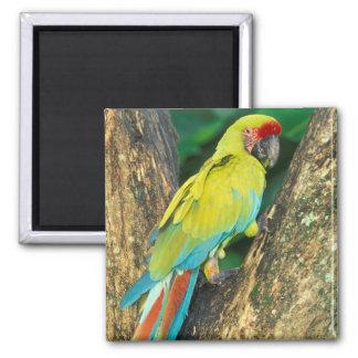 Costa Rica, Ara Ambigua, gran Macaw. verde Imán Cuadrado