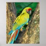 Costa Rica, Ara Ambigua, gran Macaw. verde Impresiones