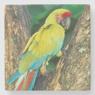 Costa Rica, Ara Ambigua, gran Macaw. verde Posavasos De Piedra