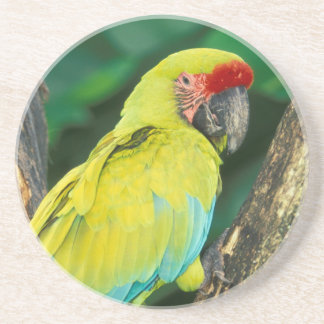 Costa Rica, Ara Ambigua, gran Macaw. verde Posavasos Manualidades