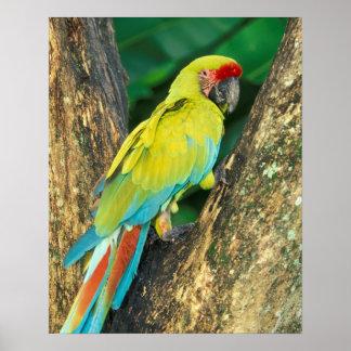 Costa Rica, Ara Ambigua, gran Macaw. verde Póster