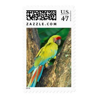 Costa Rica, Ara Ambigua, gran Macaw. verde Sello