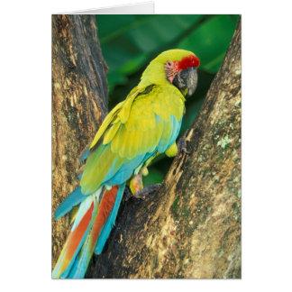 Costa Rica, Ara Ambigua, gran Macaw. verde Tarjeta De Felicitación