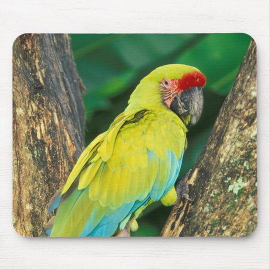 Costa Rica, Ara Ambigua, Great Green Macaw. Mouse Pad