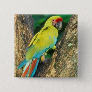 Costa Rica, Ara Ambigua, Great Green Macaw. Pinback Button