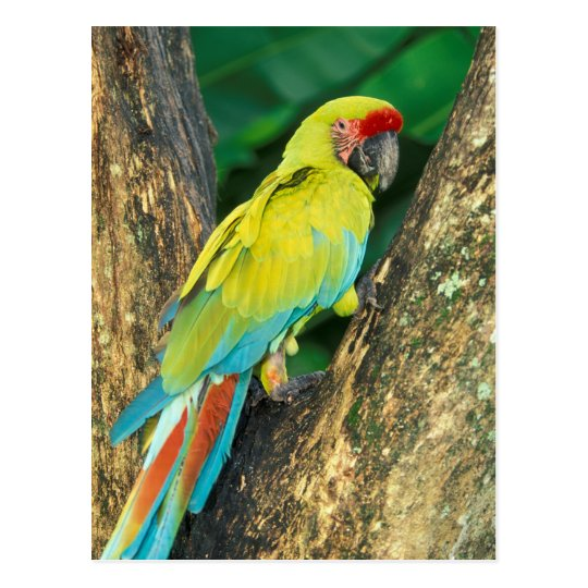 Costa Rica, Ara Ambigua, Great Green Macaw. Postcard