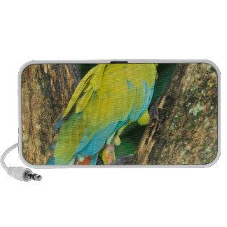 Costa Rica, Ara Ambigua, Great Green Macaw. Travel Speaker