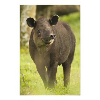 Costa Rica. Bairdii del Tapirus del Tapir de Baird Cojinete