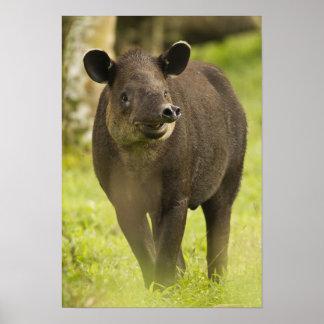 Costa Rica. Bairdii del Tapirus del Tapir de Baird Póster