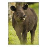 Costa Rica. Bairdii del Tapirus del Tapir de Baird Tarjeta