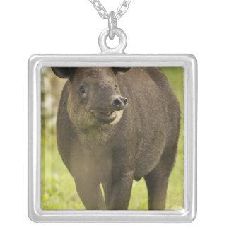 Costa Rica. Bairdii del Tapirus del Tapir de Collar Plateado