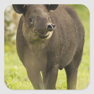 Costa Rica. Bairdii del Tapirus del Tapir de Pegatina Cuadrada