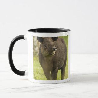 Costa Rica. Bairdii del Tapirus del Tapir de Taza