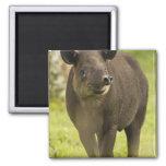 Costa Rica. Bairdis Tapir Tapirus bairdii) 2 Inch Square Magnet