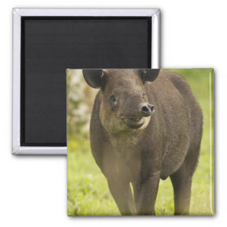 Costa Rica. Bairdis Tapir Tapirus bairdii) Magnet