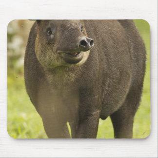Costa Rica. Bairdis Tapir Tapirus bairdii) Mouse Pad