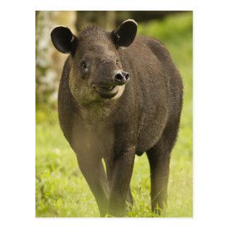 Costa Rica. Bairdis Tapir Tapirus bairdii) Postcard