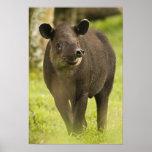 Costa Rica. Bairdis Tapir Tapirus bairdii) Poster