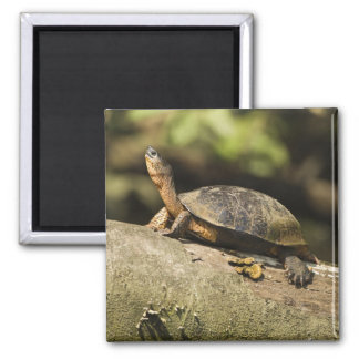 Costa Rica. Black Wood Turtle Rhinoclemmys Magnet