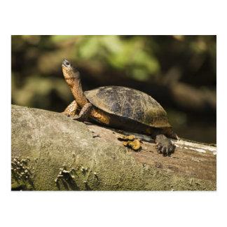 Costa Rica. Black Wood Turtle Rhinoclemmys Postcard