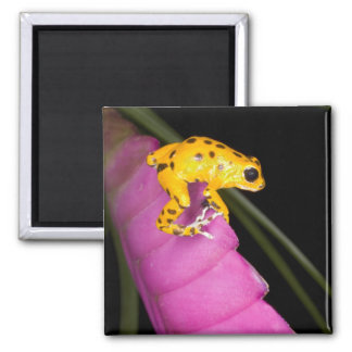 Costa Rica. Close-up of poison dart frog on 2 Inch Square Magnet