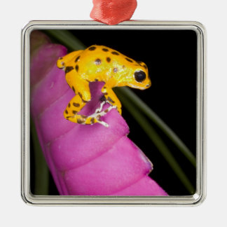 Costa Rica. Close-up of poison dart frog on Metal Ornament