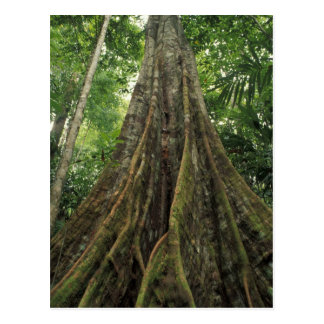 Costa Rica, Corcovado National Park, Buttressed Postcard
