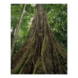 Costa Rica, Corcovado National Park, Buttressed Poster