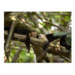 Costa Rica, dos monos que descansan sobre el árbol Tarjeta Postal