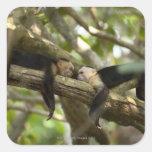 Costa Rica, dos monos que descansan sobre el Calcomanías Cuadradases