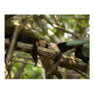 Costa Rica, dos monos que descansan sobre el Postal