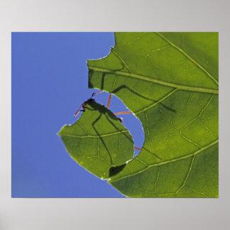 Costa Rica hormigas del cortador de la hoja ceph Posters
