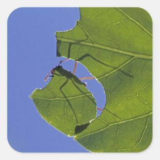 Costa Rica hormigas del cortador de la hoja ceph Pegatina