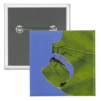 Costa Rica hormigas del cortador de la hoja ceph Pin
