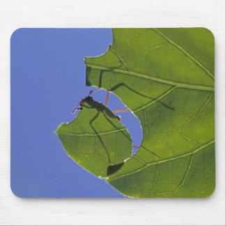 Costa Rica hormigas del cortador de la hoja ceph Tapetes De Raton