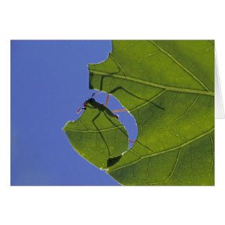 Costa Rica hormigas del cortador de la hoja ceph Felicitaciones