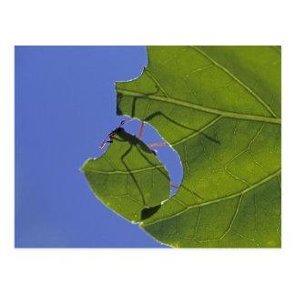Costa Rica hormigas del cortador de la hoja ceph Postales