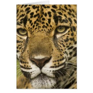 Costa Rica. Jaguar Panthera onca) portrait Card