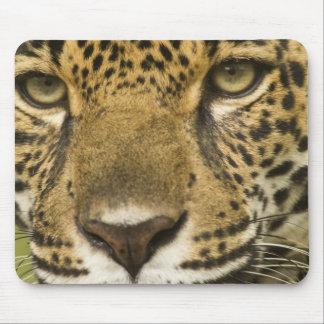 Costa Rica. Jaguar Panthera onca) portrait Mousepads