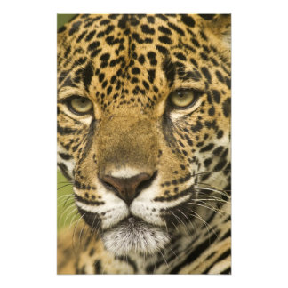 Costa Rica. Jaguar Panthera onca) portrait Photo Print