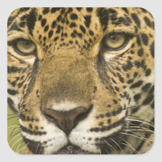 Costa Rica. Jaguar Panthera onca) portrait Square Sticker