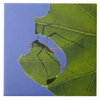 Costa Rica, Leaf cutter ants, Atta cephalotes Ceramic Tile