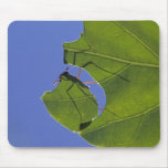 Costa Rica, Leaf cutter ants, Atta cephalotes Mousepads