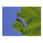 Costa Rica, Leaf cutter ants, Atta cephalotes Postcard