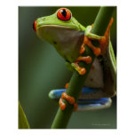 Costa Rica, Monteverde, rana arbórea Rojo-Observad Posters