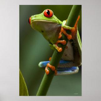 Costa Rica, Monteverde, rana arbórea Rojo-Observad Poster