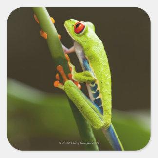 Costa Rica Monteverde rana arbórea Rojo-Observad Calcomanía Cuadradas