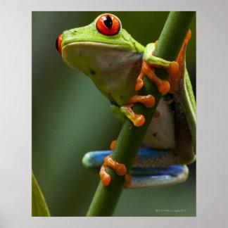 Costa Rica, Monteverde, rana arbórea Rojo-Observad Póster