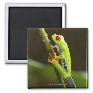 Costa Rica, Monteverde, Red-Eyed Tree Frog 2 Inch Square Magnet